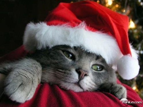 cat-christmas-cute-red-Favim.com-249638